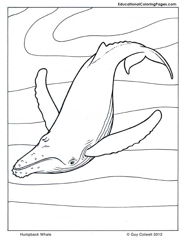Humpback whale coloring