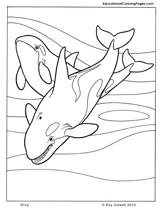 Orca coloring